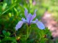 Wild-Iris6