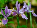 Wild-Iris8