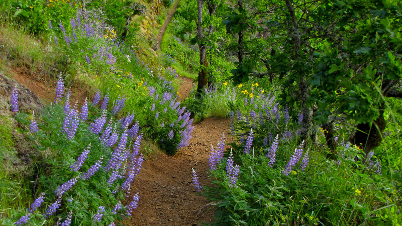 Lupines1