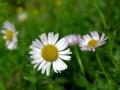 Daisys4