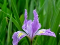 Wild-Iris1