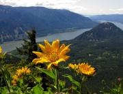 Dog Mountain Wildflowers